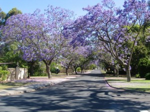 Jacaranda in West-Australië, foto: Mikeinnc